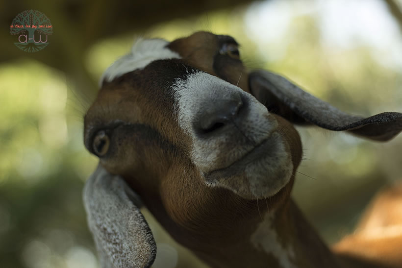 Missy Nubian goat